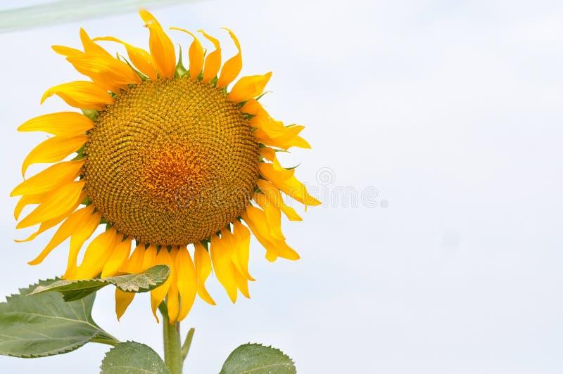 Fioritura di estate del girasole dorata immagini stock libere da diritti