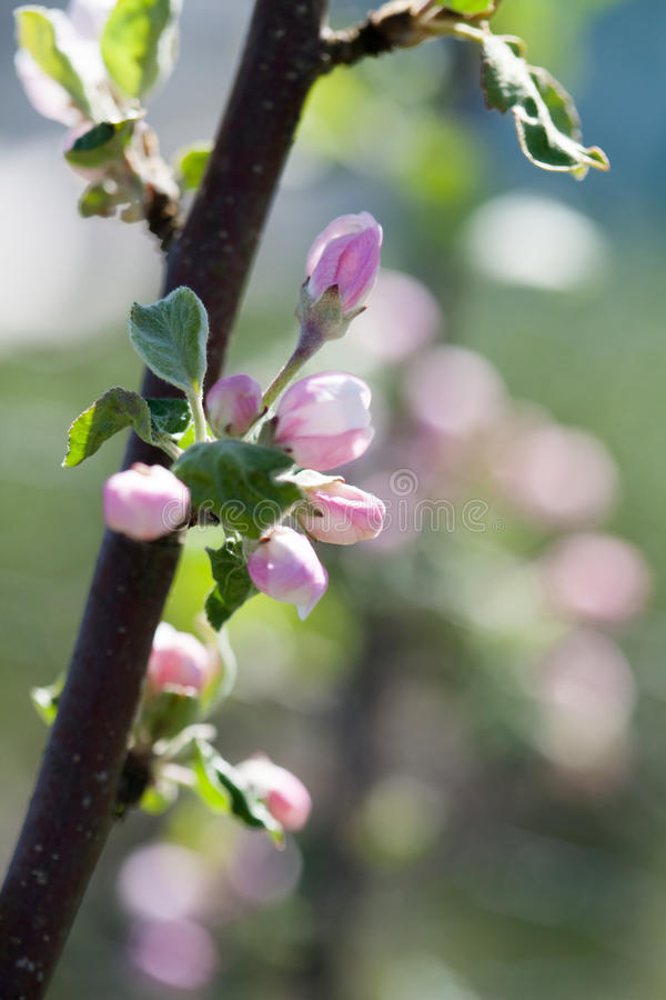 Fioritura di melo fotografie stock libere da diritti