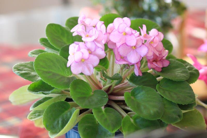 Fioritura di piante di violetto africane rosa fotografia stock libera da diritti