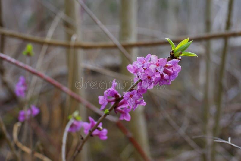 Fioritura di rosa di mezereum di Daphne in giardino alla molla in anticipo fotografia stock