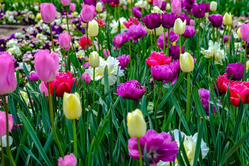 Fioritura di Rose Start e dei tulipani immagine stock