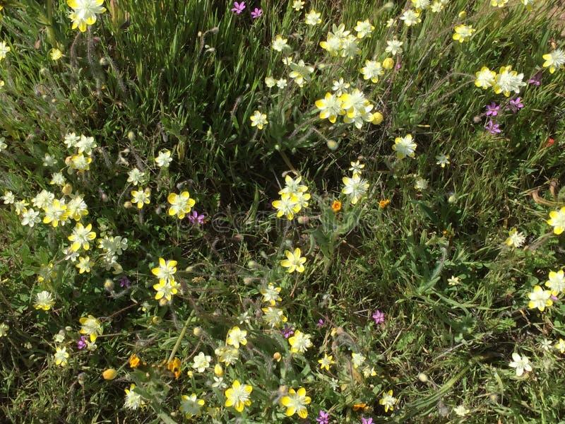 Fioritura eccellente 2019, California - campo del monumento nazionale delle pianure di Carrizo dei fiori fotografie stock libere da diritti