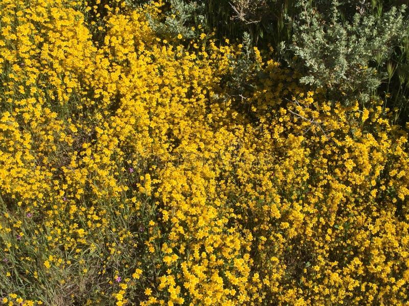 Fioritura eccellente 2019, California - campo del monumento nazionale delle pianure di Carrizo dei fiori fotografie stock