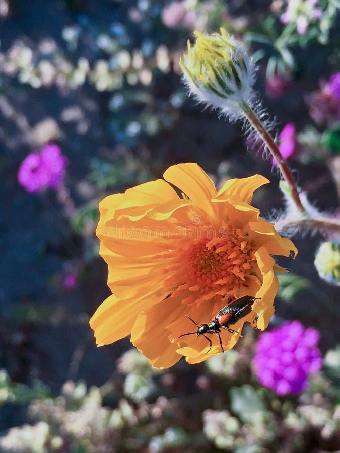 Fioritura eccellente della molla dei Wildflowers del deserto fotografie stock libere da diritti