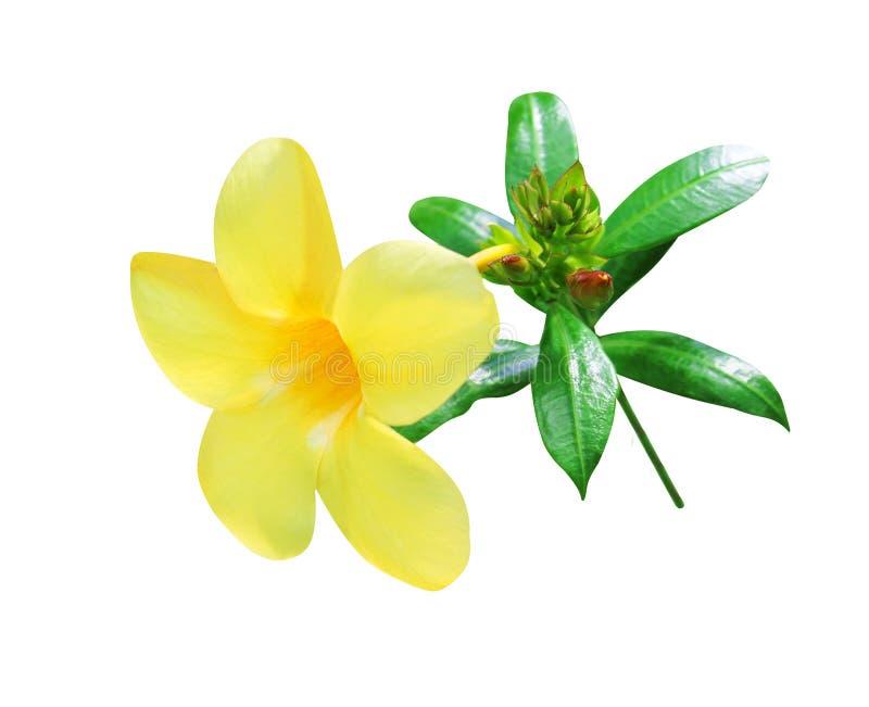 Fioritura gialla di cathartica del allamanda dei fiori variopinti, germoglio con le foglie verdi e gambo isolato su fondo bianco  fotografia stock libera da diritti