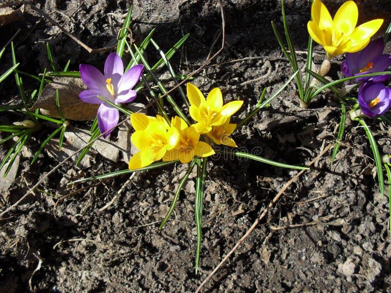 Fioritura gialla e porpora del fiore del croco della molla in giardino immagine stock libera da diritti