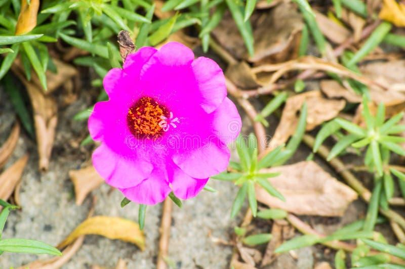 Fioritura grandiflora rosa di Portulaca del muschio rosa nel giorno soleggiato immagine stock