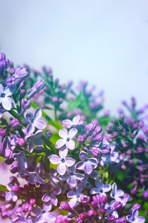 Fioritura lilla luminosa sul fondo del cielo blu fotografie stock libere da diritti