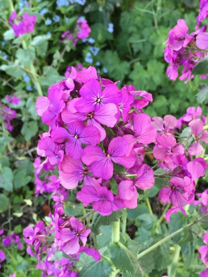 Fioritura porpora dei fiori immagini stock