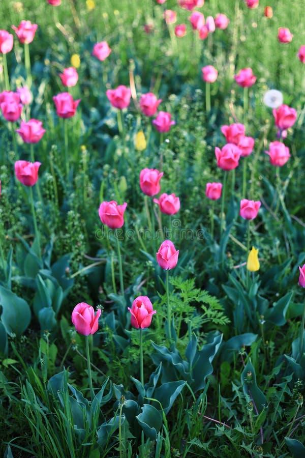 Fioritura porpora dei tulipani immagine stock