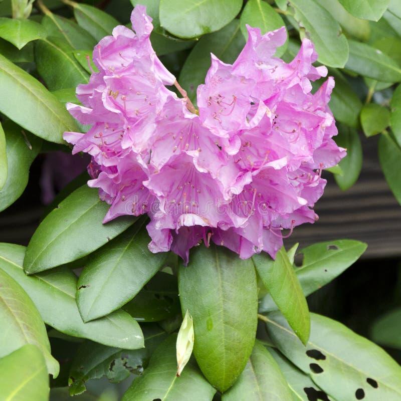 Fioritura porpora di Azalea Rhododendron della montagna, Ridge Mountains blu fotografie stock