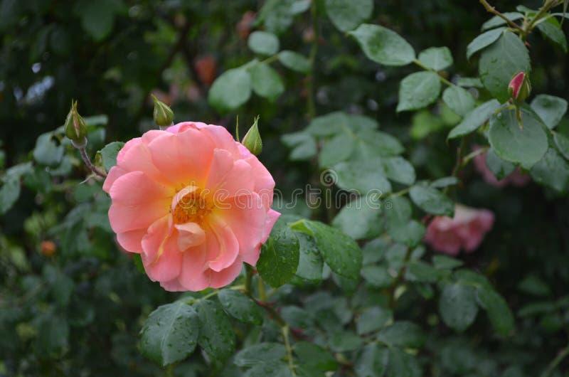 Fioritura rosa fotografia stock