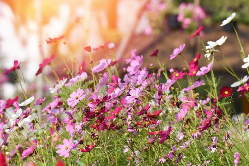 Fioritura rosa dei fiori dell'universo immagine stock
