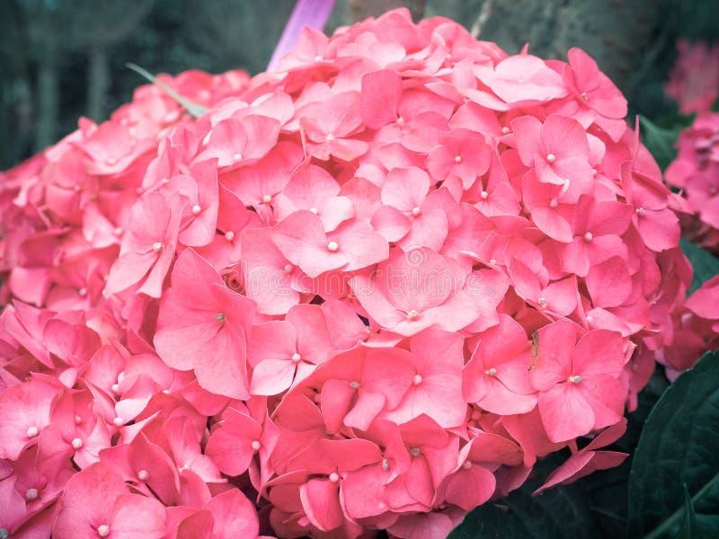 Fioritura rosa dei fiori di Hydrengeas fotografia stock