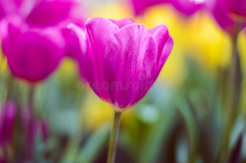 Fioritura rosa dei tulipani nel giardino fotografia stock libera da diritti