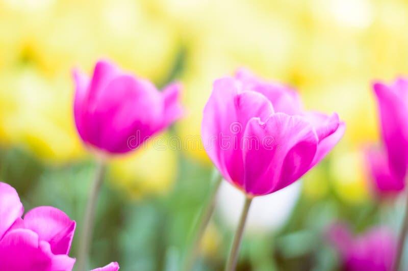 Fioritura rosa dei tulipani nel giardino immagine stock libera da diritti