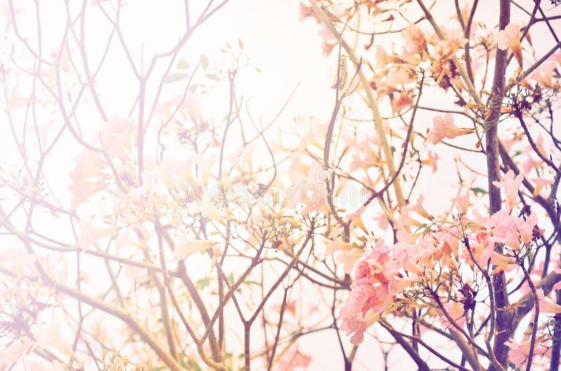 Fioritura rosa del fiore dell'albero di tromba fotografia stock libera da diritti