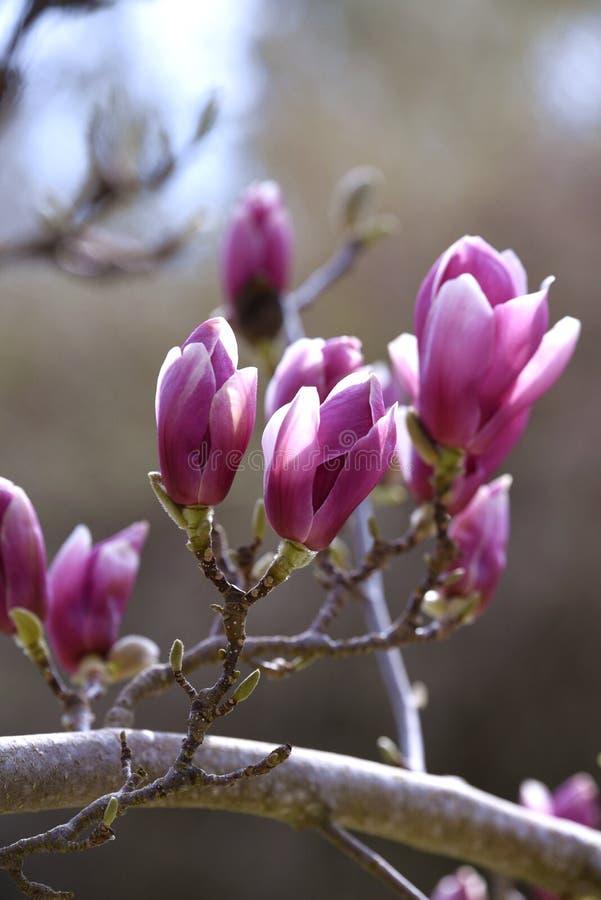 Fioritura rosa dell'albero della magnolia immagine stock