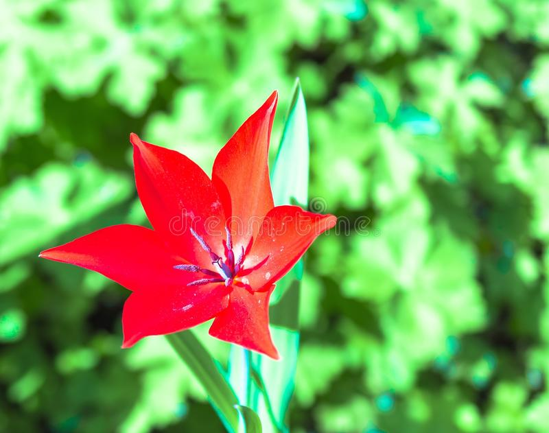 Fioritura rossa del fiore del tulipano in primavera fotografie stock