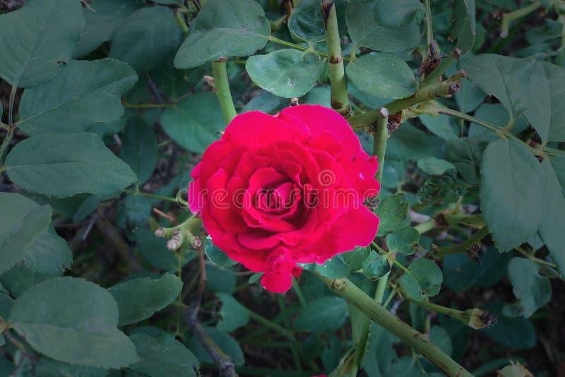 Fioritura rossa della Rosa fotografia stock