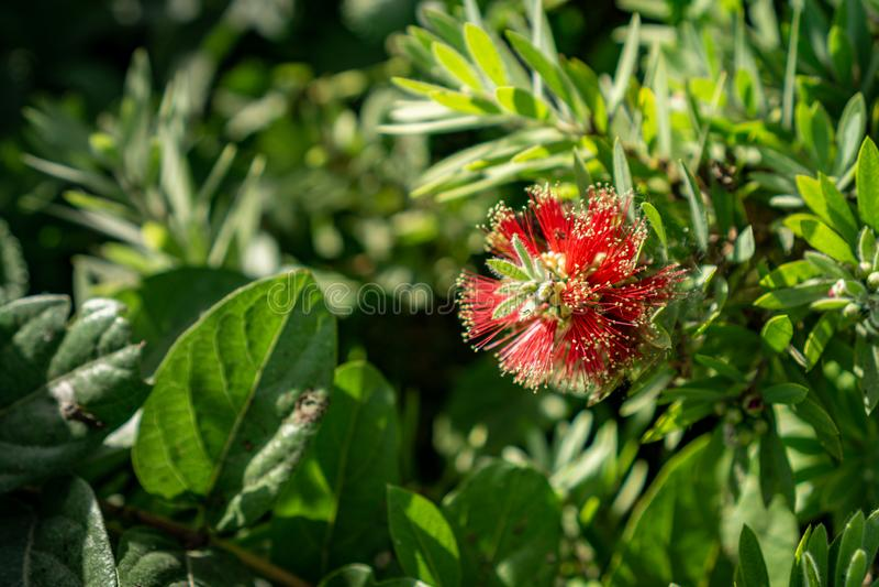 Fioritura rossa piangente dei fiori del bottlebrush fotografia stock