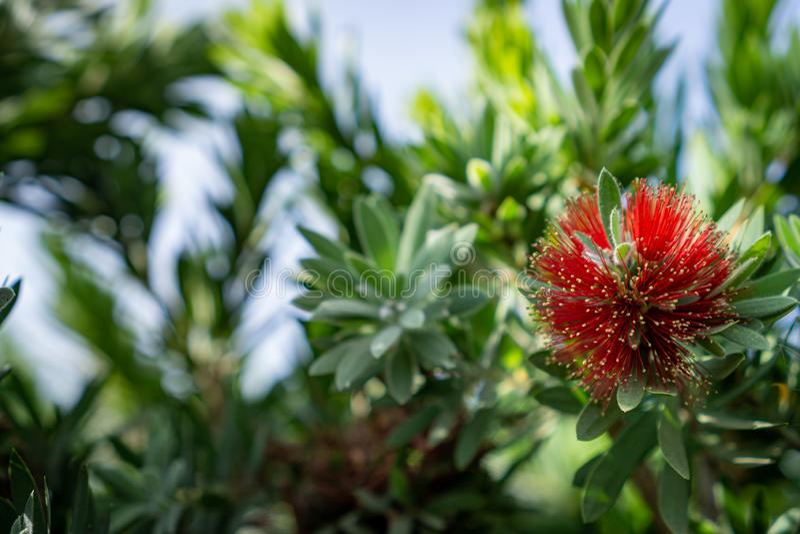 Fioritura rossa piangente dei fiori del bottlebrush fotografia stock libera da diritti