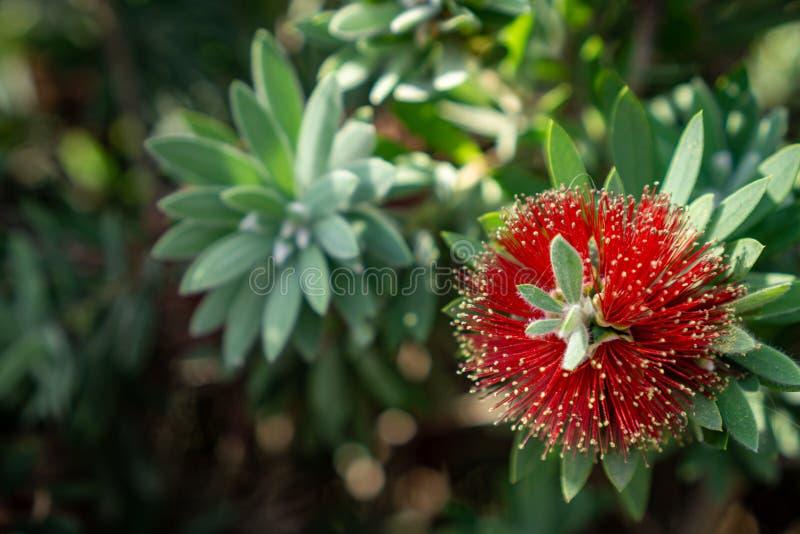 Fioritura rossa piangente dei fiori del bottlebrush immagini stock libere da diritti