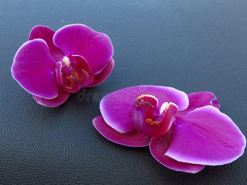 """Fioritura splendida porpora dell'orchidea con i bordi bianchi,  di phalaenopsis del orchids†del """"moth Bei fiori esotici immagini stock libere da diritti"""