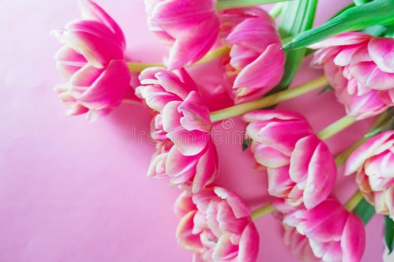 Fioritura tulipani bianchi e rosa con i lotti dei petali su un fondo rosa Fondo per progettazione fotografia stock