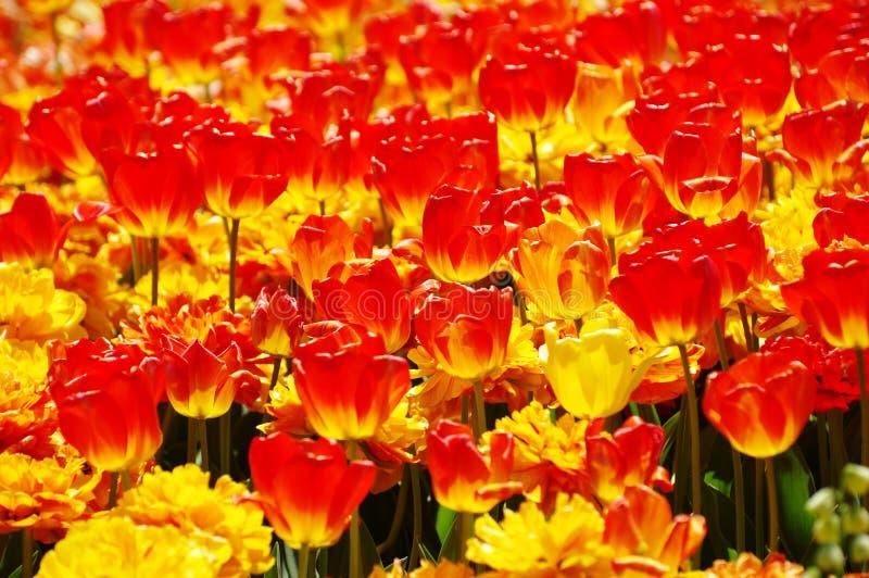 Fioritura tulipani rossi e gialli fotografia stock libera da diritti