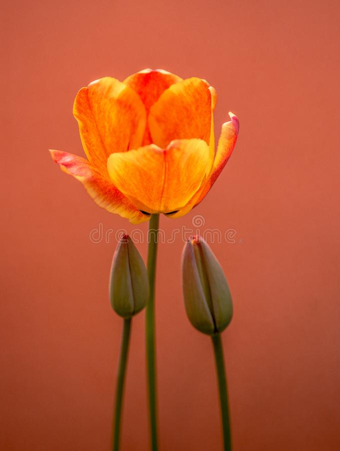 Fioritura variopinta del fiore del tulipano con un fondo variopinto immagini stock libere da diritti