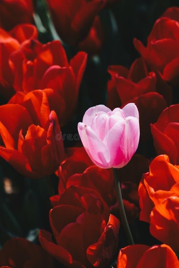 Fioritura variopinta del fiore del tulipano nel giardino immagine stock libera da diritti