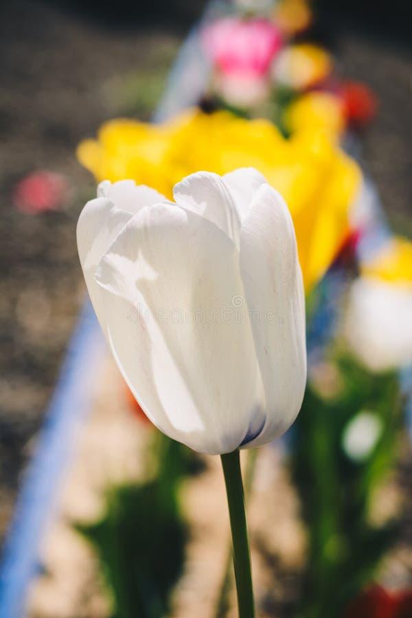 Fioritura variopinta del fiore del tulipano nel giardino fotografia stock libera da diritti