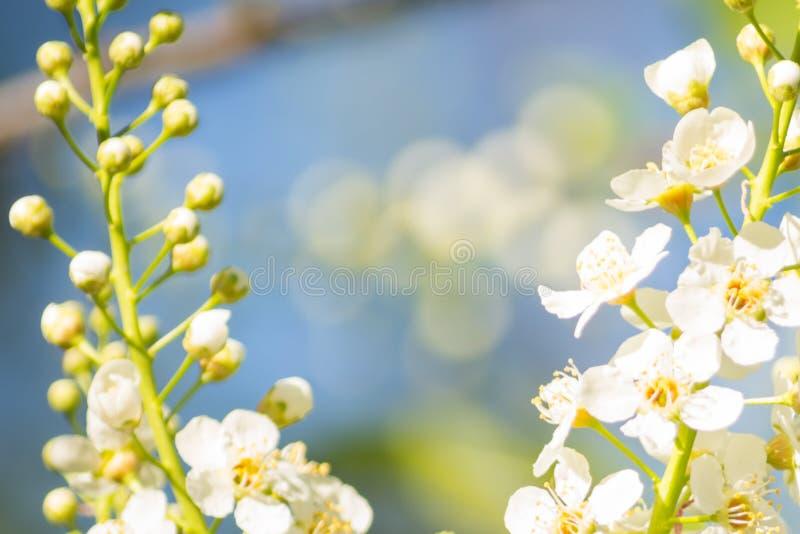 Fioriture bianche di padus di Cherry Blossoms Prunus dell'uccello con fondo molle immagini stock libere da diritti