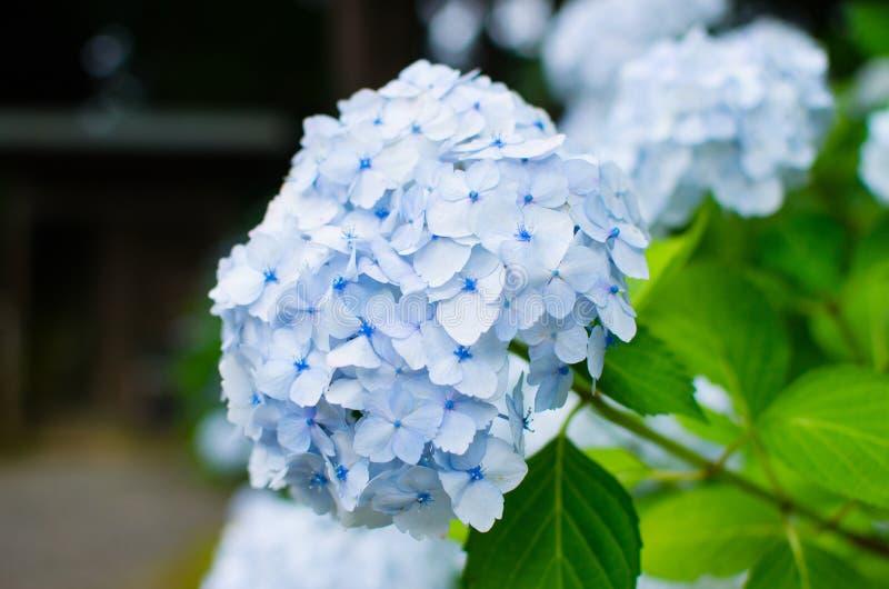 Fioriture blu del fiore di macrophylla dell'ortensia immagine stock libera da diritti