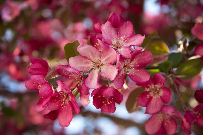 Fioriture colorate rosa luminoso su un albero fotografia stock