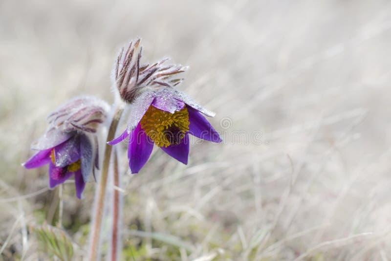 Fioriture del fiore di Pasque in primavera immagine stock libera da diritti