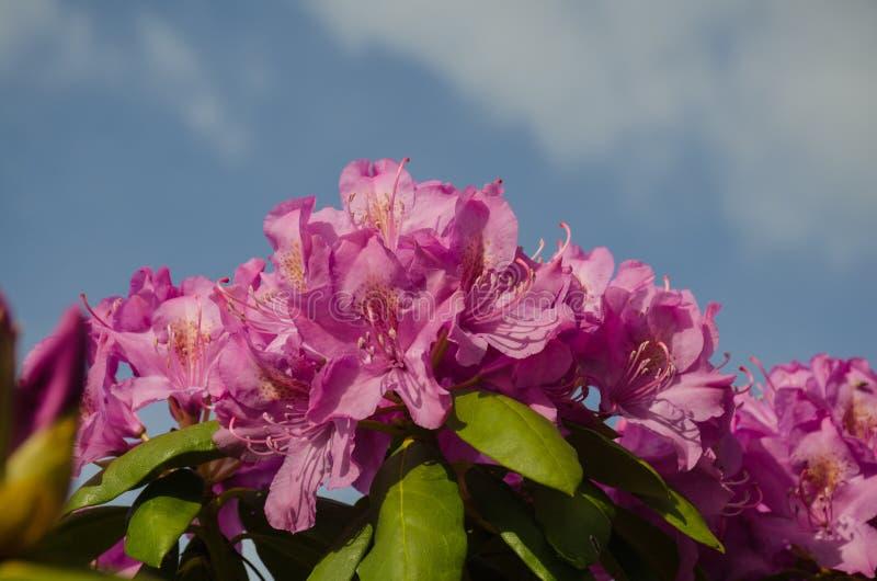 Fioriture del rododendro fotografia stock libera da diritti