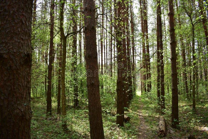 Fioriture dell'abetaia della foresta con i nuovi colori, nasce e splende dall'interno immagini stock