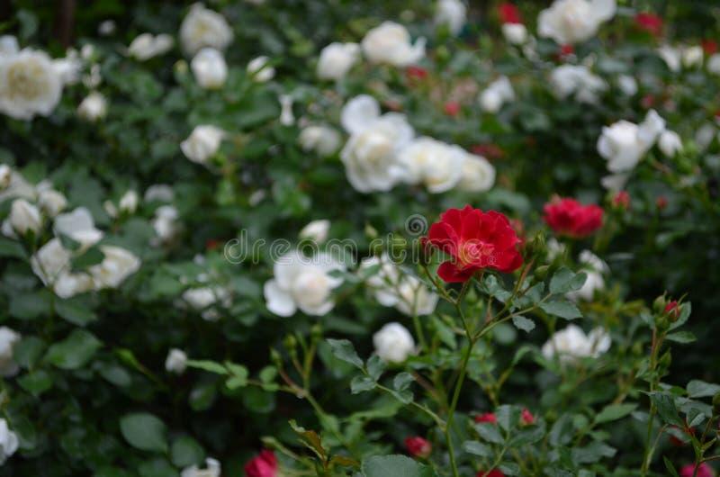 fioriture della molla fotografia stock