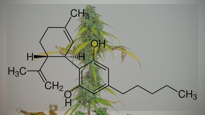 Fioriture della pianta della cannabis, crescenti dell'interno Raccolto fresco dei germogli medici della marijuana Formula di CBD immagini stock libere da diritti