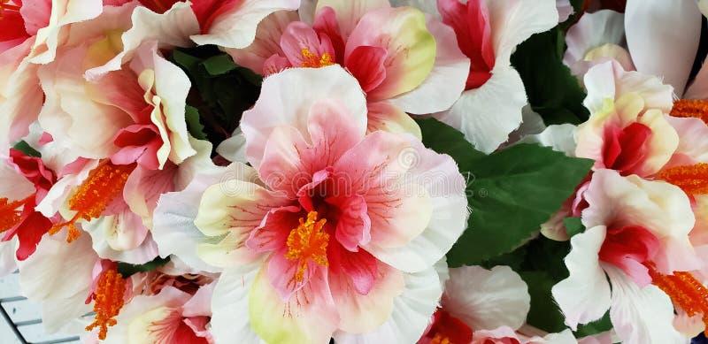 Fioriture di fiori bianchi e rosa Hibiscus immagine stock
