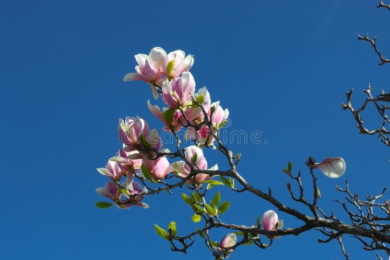 Fioriture giapponesi della magnolia fotografie stock libere da diritti