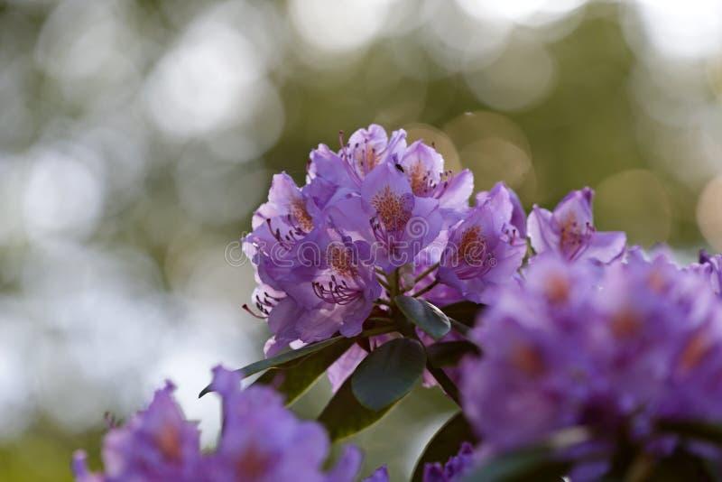Fioriture porpora del rododendro in ombra fotografie stock