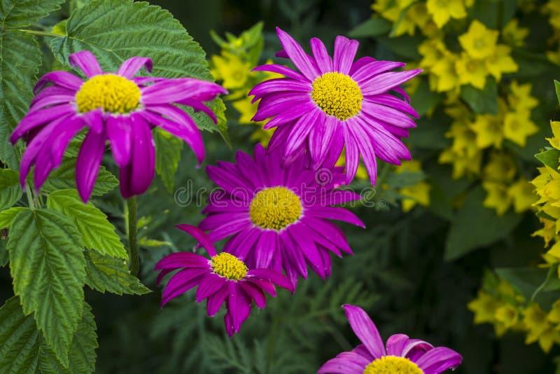 Fioriture rosa dell'echinacea nel giardino immagini stock