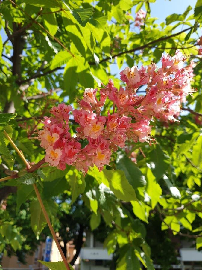 Fioriture rosa della castagna in primavera immagine stock