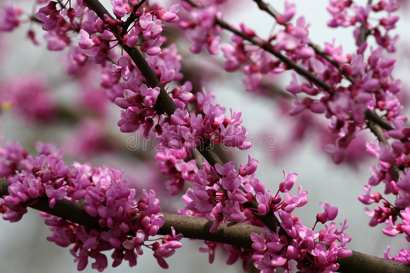 Fioriture rosse dell'albero del germoglio fotografie stock libere da diritti