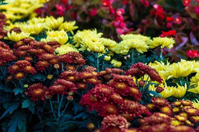 Fioriture variopinte della flora del crisantemo fotografia stock libera da diritti