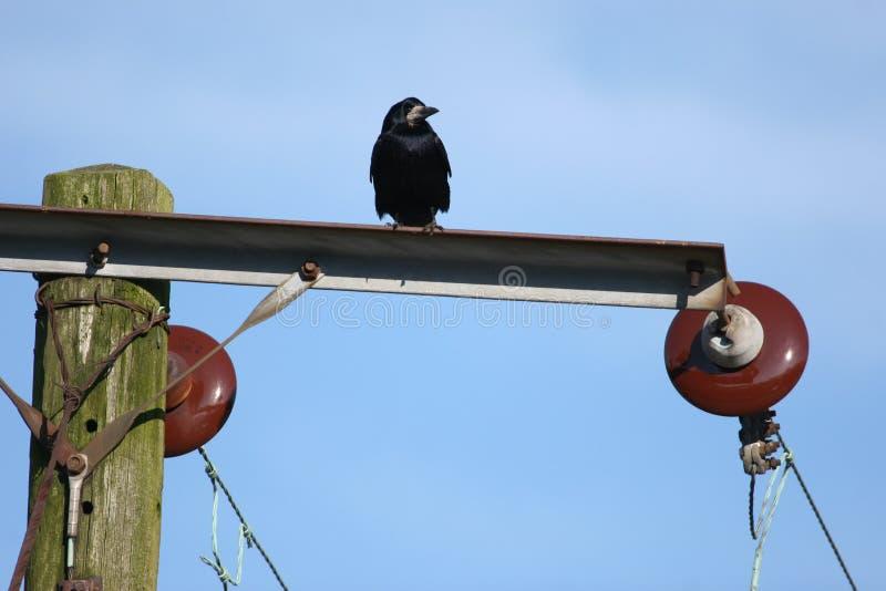 Fios do corvo e da eletricidade fotografia de stock