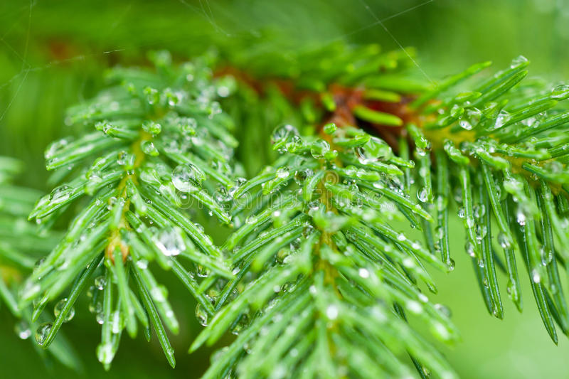 Download Fir stock photo. Image of environment, beautiful, drops - 20617348
